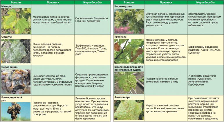 болезни винограда и их признаки