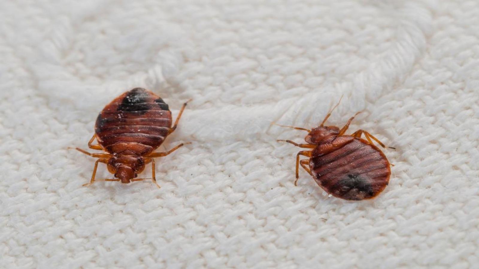 Укусы постельных клещей на человеке: как выглядят укусы? (фото)