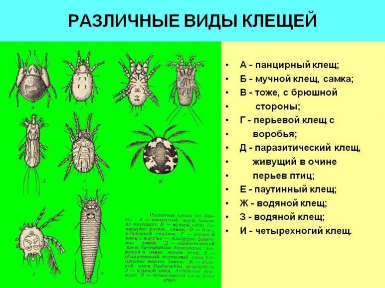 Различные виды клещей