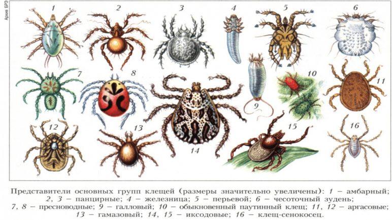 Разновидности клещей