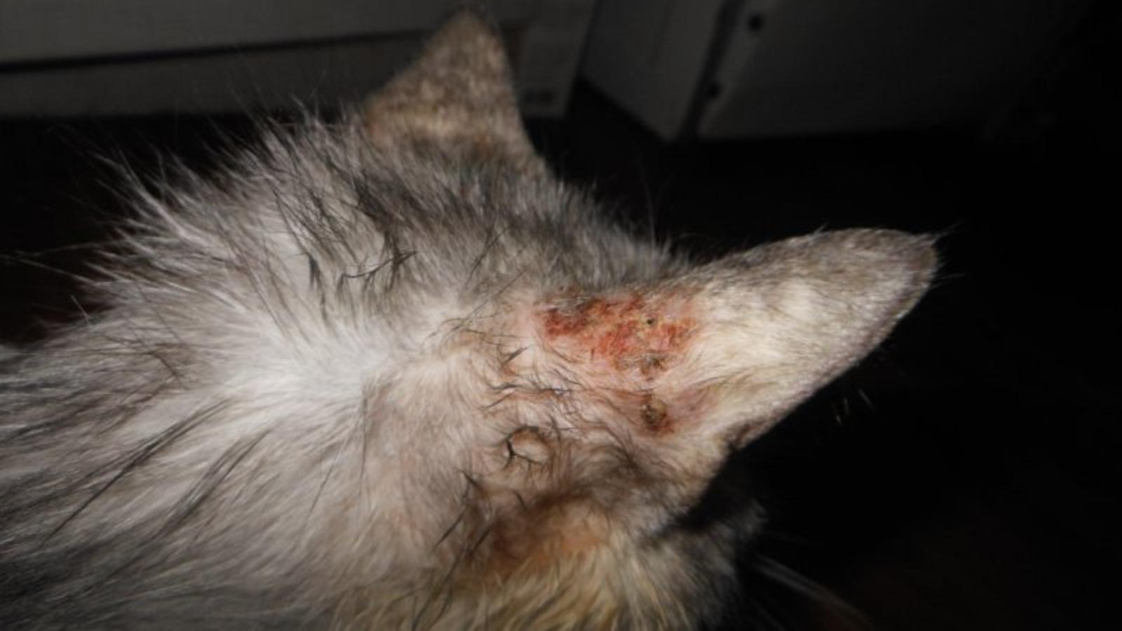 Чесоточный клещ у кошек: симптомы и лечение в домашних условиях