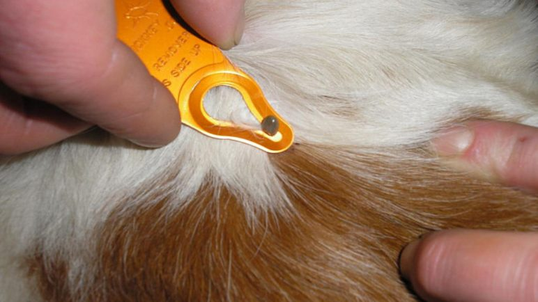 эрлихиоз у собак