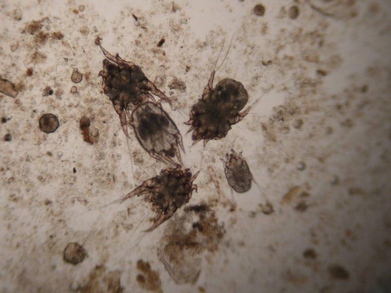клещ Psoroptes cuniculi